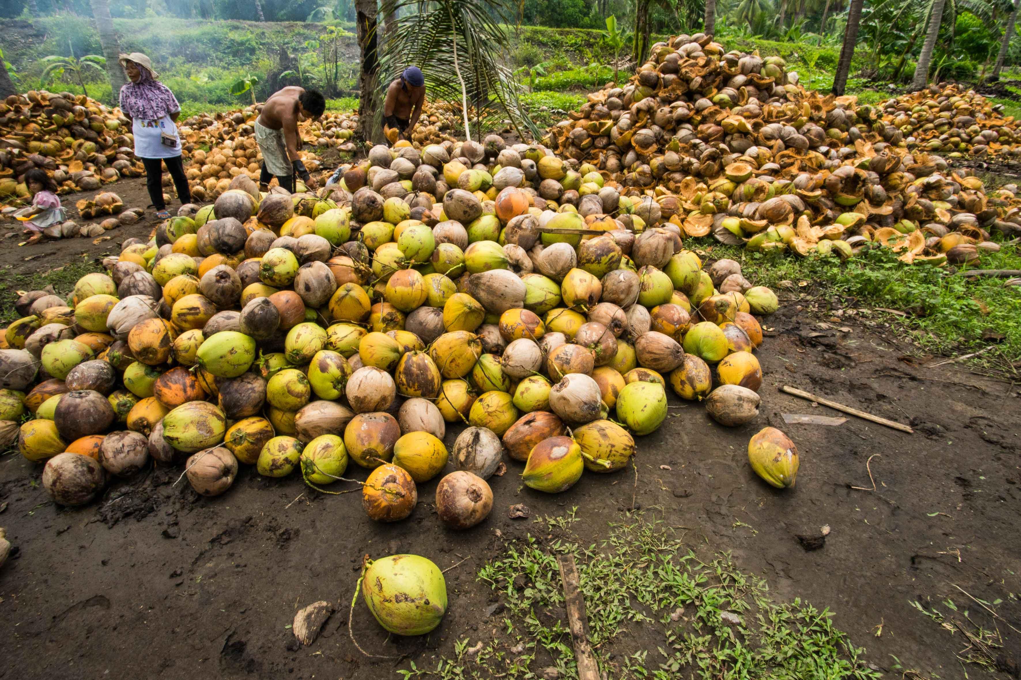 Kokosnüsse nach der Ernte