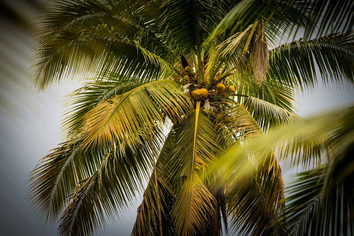 Kokosnuss Palme mit Kokosnüssen